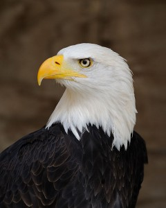 640px-Bald_Eagle_Portrait